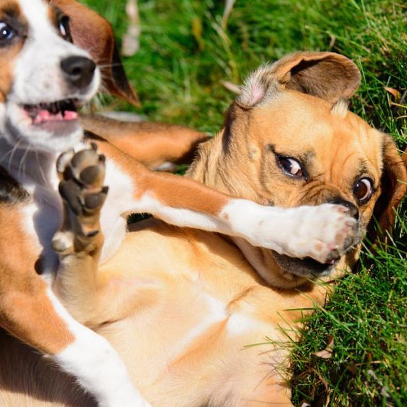Quale medicina dovrebbe prendere il cane per prendere le budella?